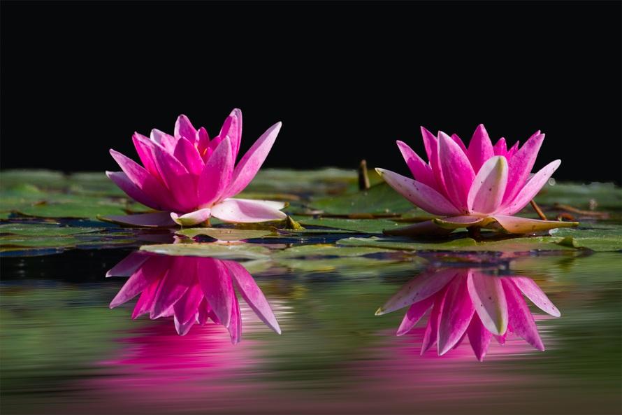 лотосы розовые
