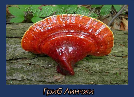 китайский гриб линчжи